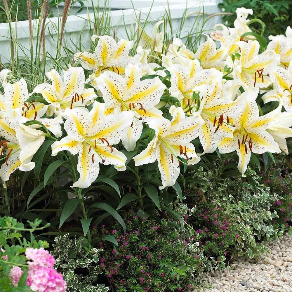Lilium-Gold-Band-3
