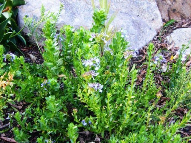 Лобелия сильная (Lobelia valida)