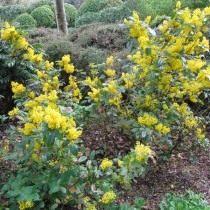 Барбарис падуболистный (Berberis aquifolium), или Магония падуболистная (Mahonia aquifolium)