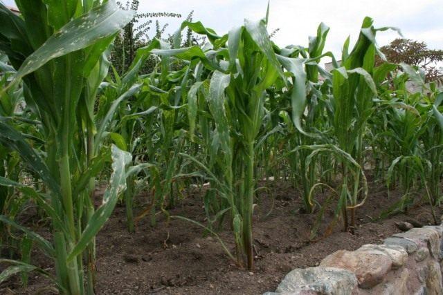 Кукуруза сахарная, или маис