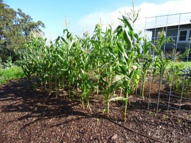 Кукуруза сахарная (Zea mays)