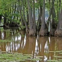 Нисса водяная (Nyssa aquatica)