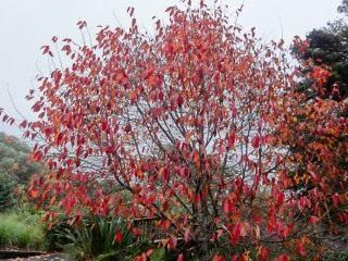Нисса китайская (Nyssa sinensis)
