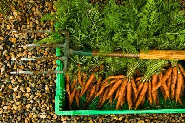Урожай органически выращенной моркови