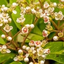 Фотиния Давида (Photinia davidiana)