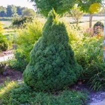 Ель голубая «Conica» (Picea glauca)