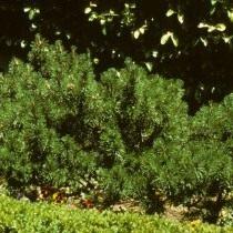 Сосна горная, или Сосна стланиковая европейская (Pinus mugo)