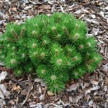 Сосна черная «Нана» (Pinus nigra)