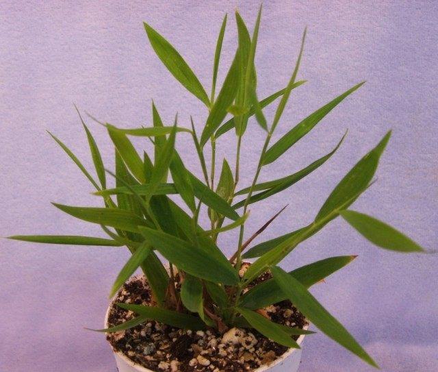 Погонатерум косматый (Pogonatherum crinitum)