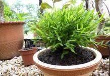 Мини-бамбук погонатерум