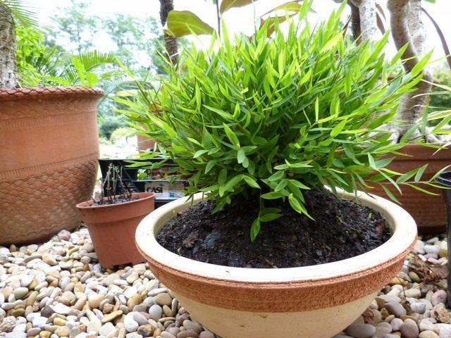 Погонатерум просовидный (Pogonatherum paniceum)