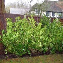 Лавровишня лекарственная (Prunus laurocerasus)