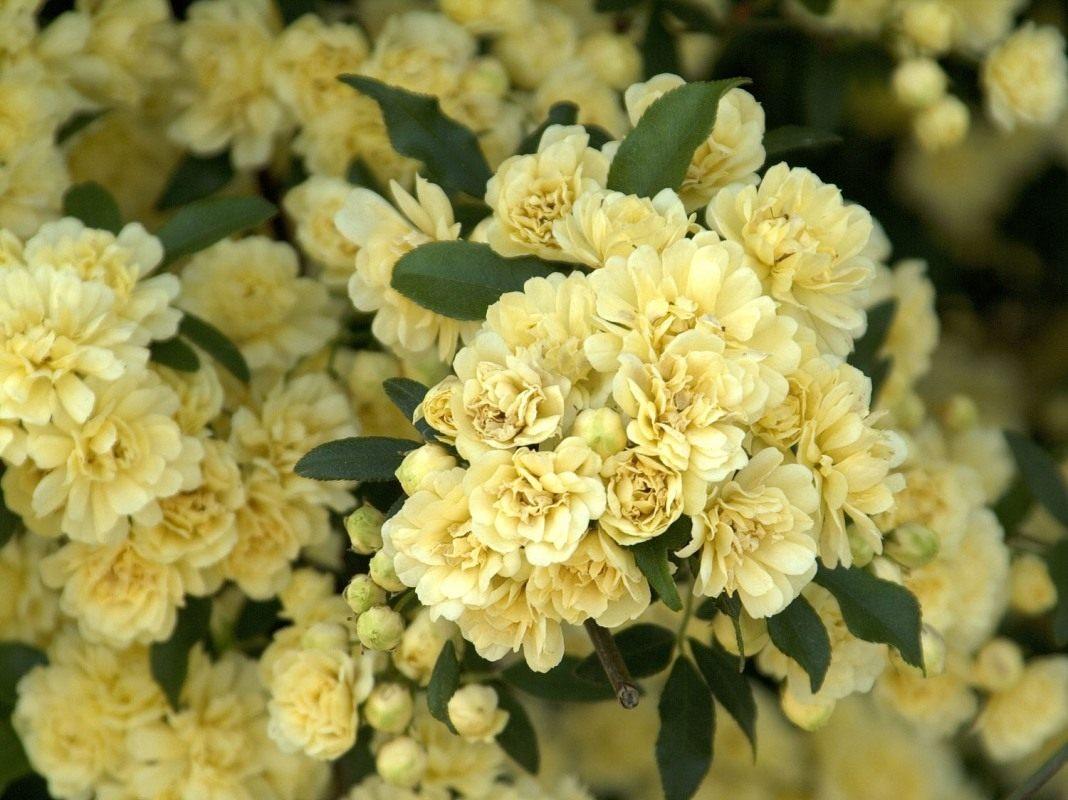 Rosa-Banksiae-Lutea1