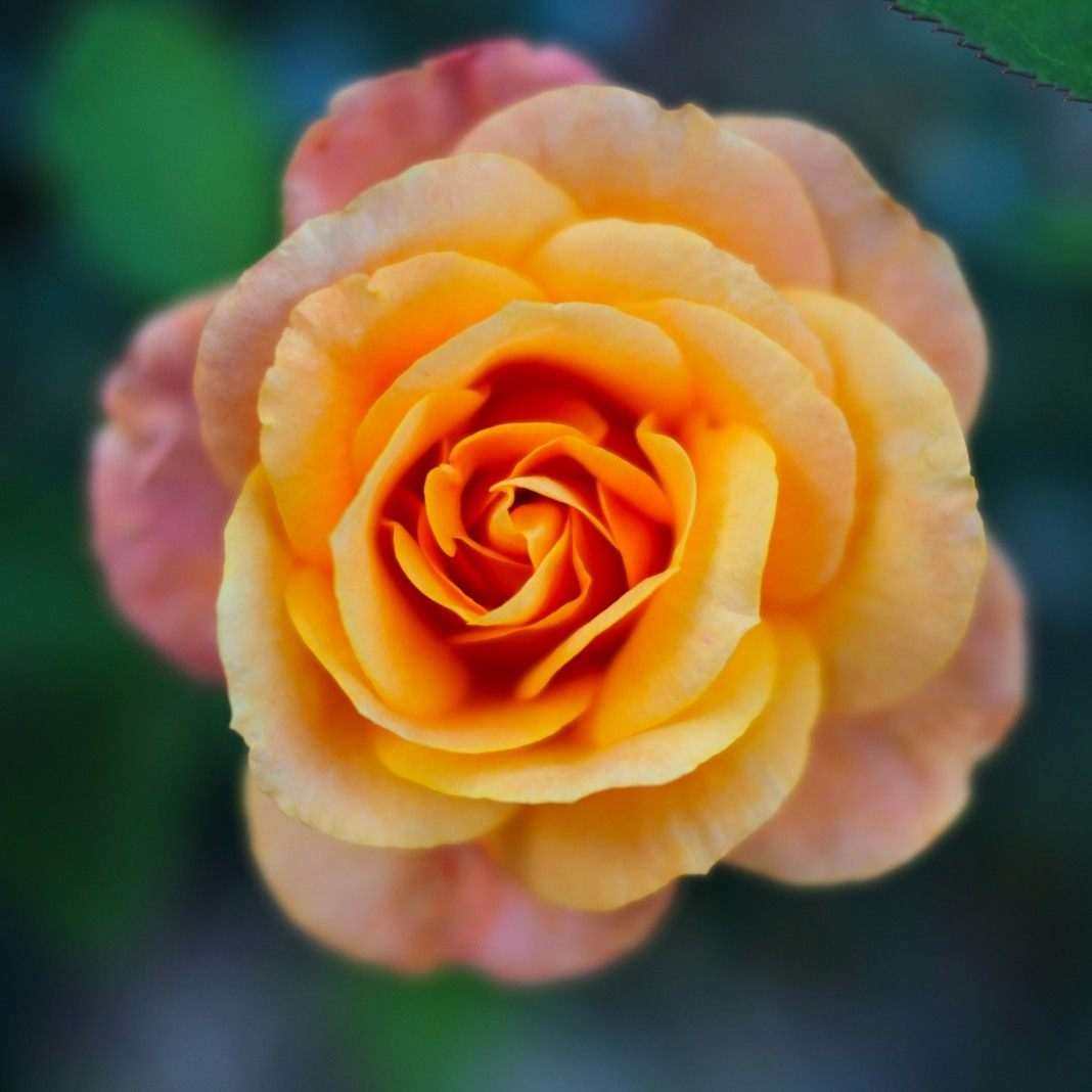 Rose-Remy-Martin-2