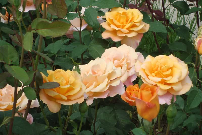 Rose-Remy-Martin-3