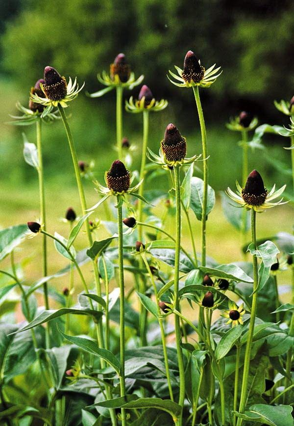 Rudbeckia-Green-Wizard-2