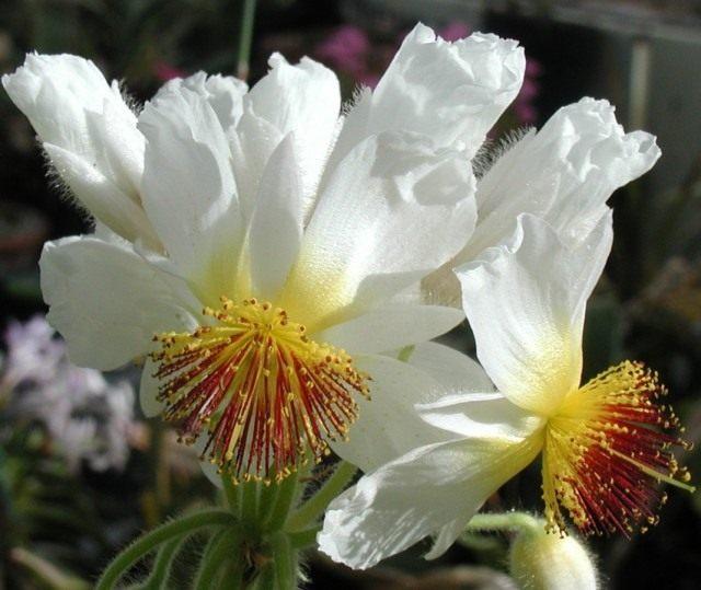 Спармания африканская (Sparmannia africana)