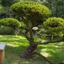 Тис ягодный «Dovastonii Aurea» (Taxus baccata)