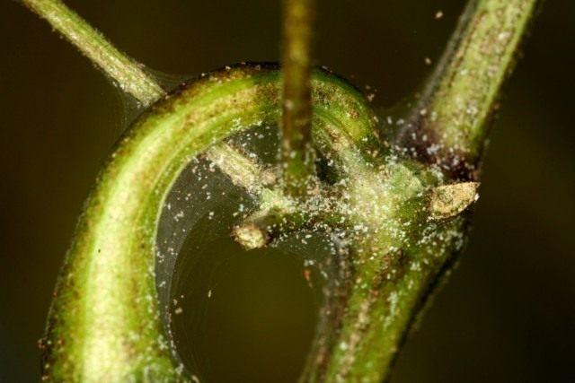 Пораженное паутинным клещом растение