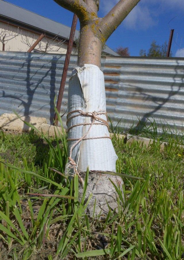 Защитный пояс от гусениц плодожорки