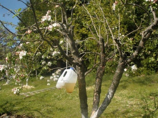 Самодельная феромонная ловушка для плодожорок