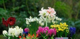 Луковичные цветы в контейнерах