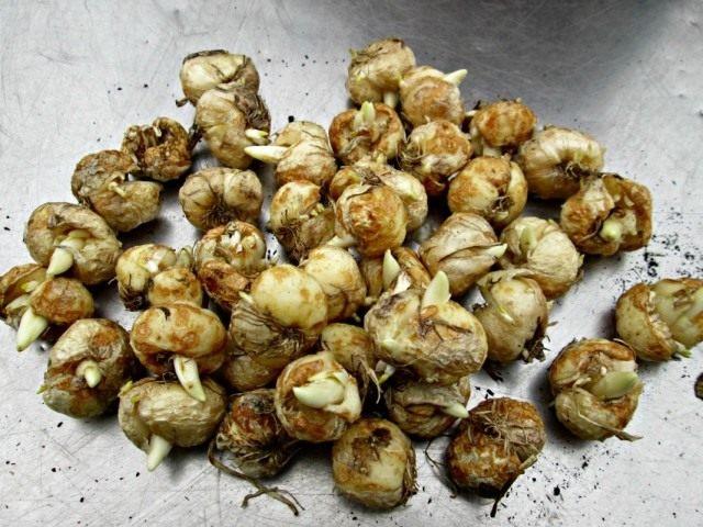 Луковицы рябчиков