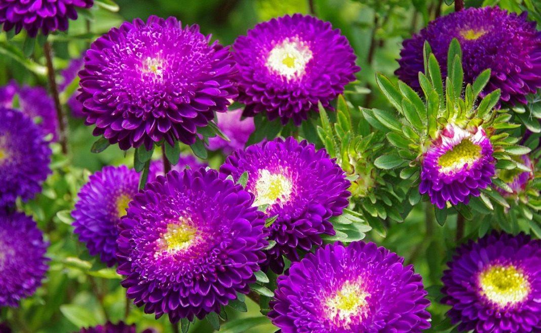 matsumoto-purple