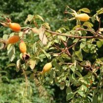Плоды Розы Мойези