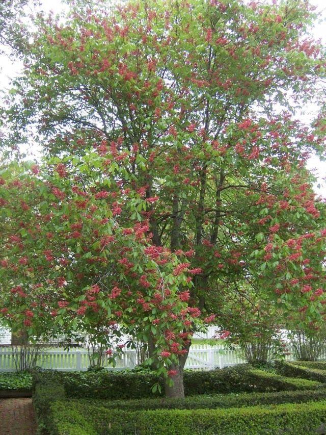 Конский каштан красный, или Конский каштан павия (Aesculus pavia)