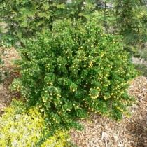 Барбарис самшитолистный (Berberis buxifolia)