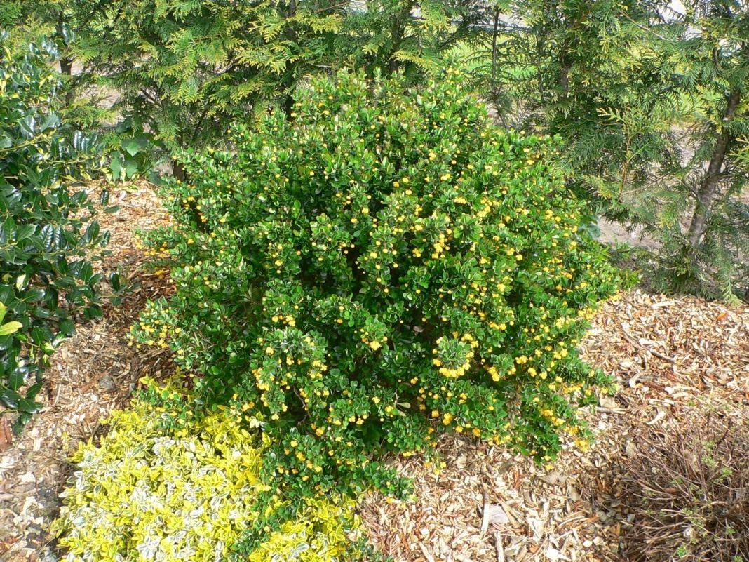 Барбарис желтый сорт