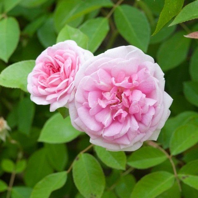 Бурбонская роза сорт 'Blairi No.2'