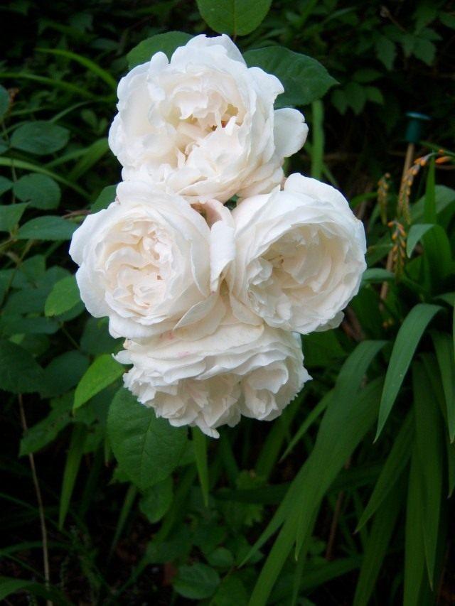 Роза сорт «Буль Дэ Неж» (Rose 'Boule de Neige')
