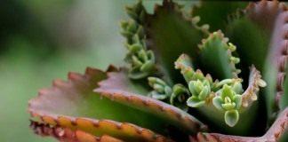 Бриофиллюм, или Бриофиллум (Bryophyllum)