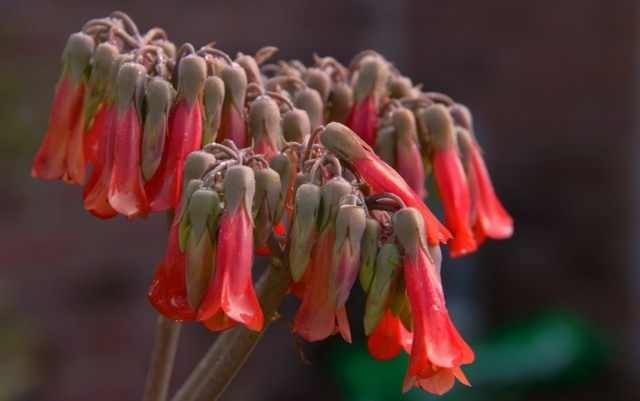 Цветение Бриофиллума Дегремона