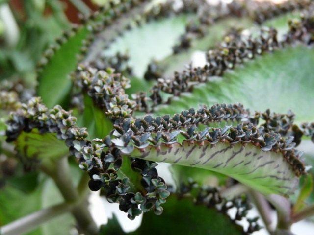 Бриофиллум Дегремона (Bryophyllum daigremontianum)