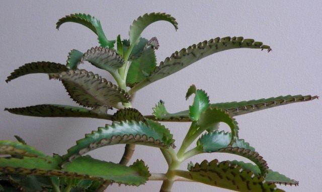 Бриофиллум Дегремона (Bryophyllum daigremontianum), так же Каланхоэ Дегремона (Kalanchoe daigremontianum)