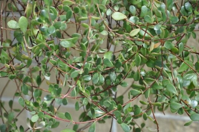 Бриофиллум Мангина (Bryophyllum manginii)