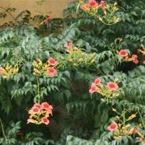 Кампсис укореняющийся, или Текома (Campsis radicans)