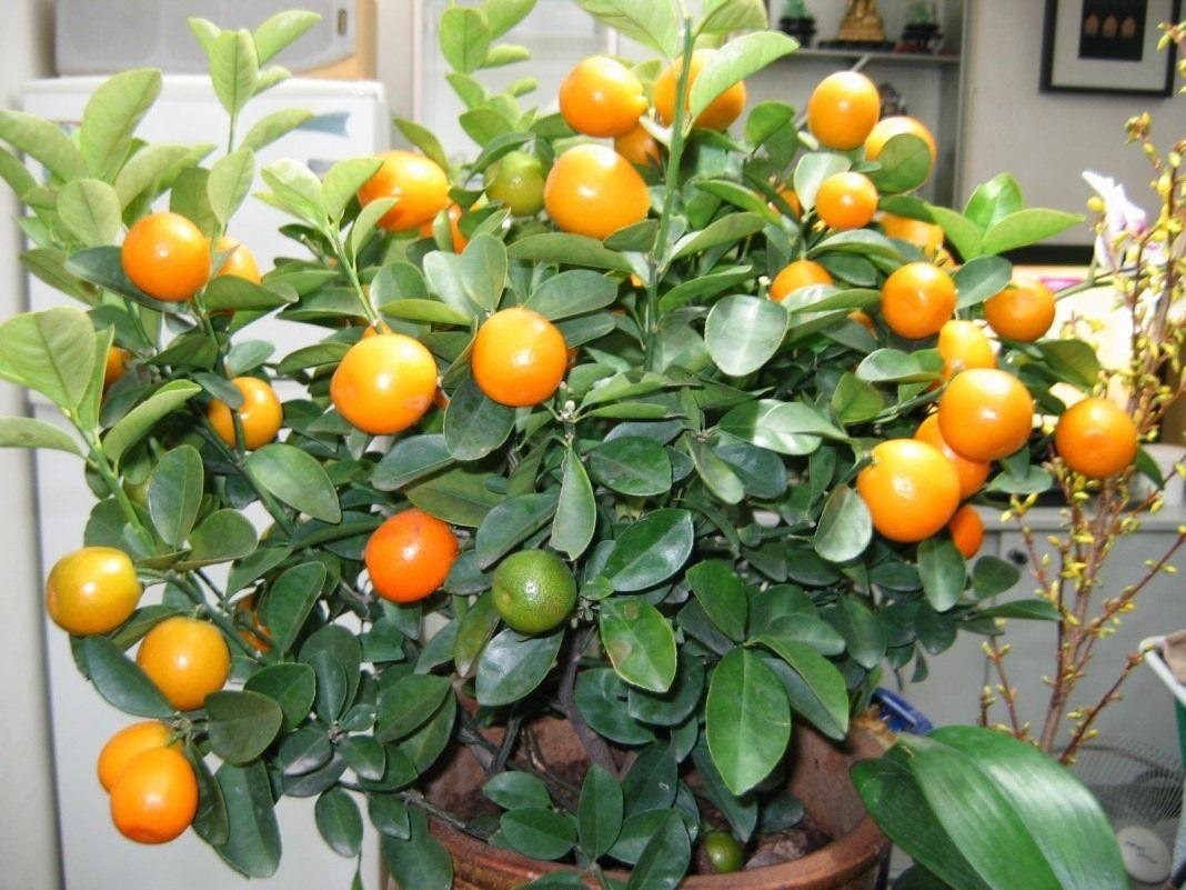Как вырастить мандарин из косточки дома