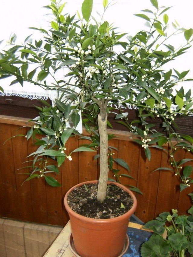 Цветущее мандариновое дерево