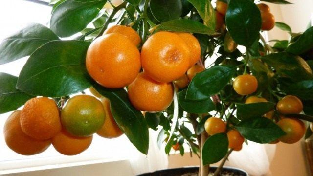 Мандариновое дерево (Citrus reticulata)