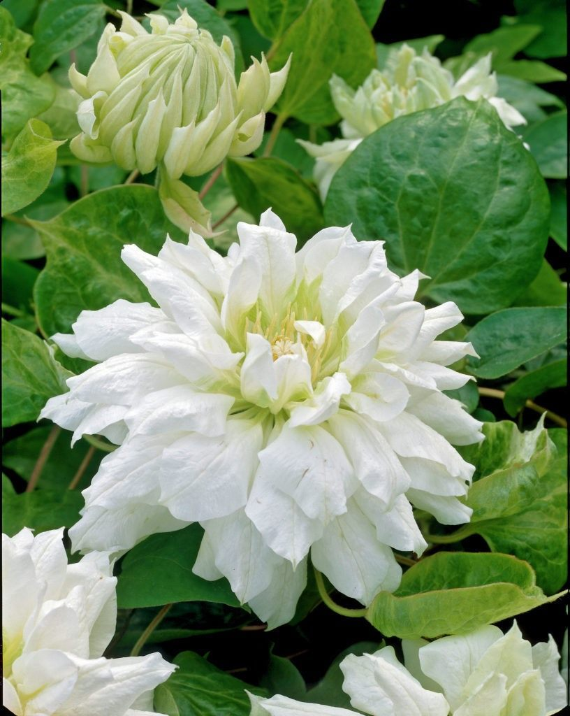 Clematis-Duchess-of-Edinburgh-1