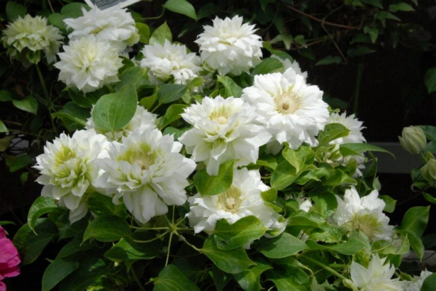 Clematis-Duchess-of-Edinburgh-2