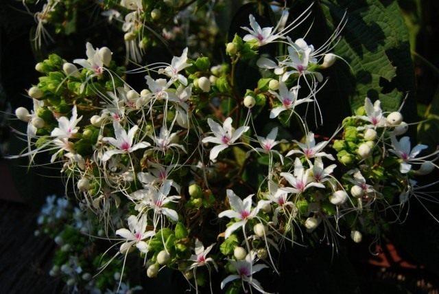 Клеродендрум китайский (Clerodendrum chinense), или Клеродендрум душистый (Clerodendrum х fragrans)