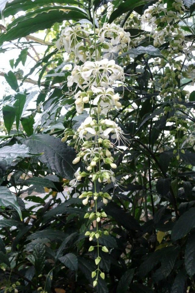 Клеродендрум гладколистный (Clerodendrum laevifolium)