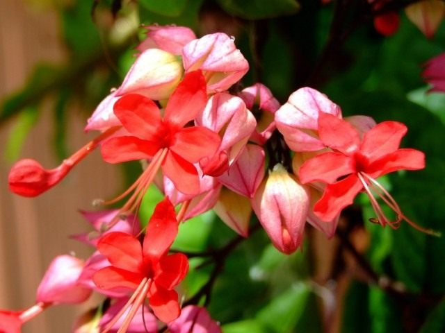 Клеродендрум блестящий (Clerodendrum splendens)