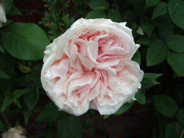 """Бурбонская роза сорт """"Climbing Souvenir de la Malmaison"""""""