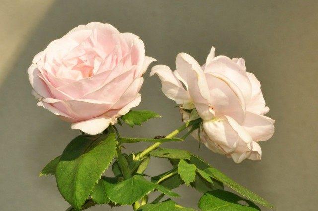 Бурбонская роза сорт 'Comtesse de Barbentane'